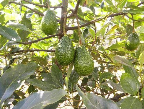 Fertilizacion Nitrogenada en el Cultivo de Aguacate