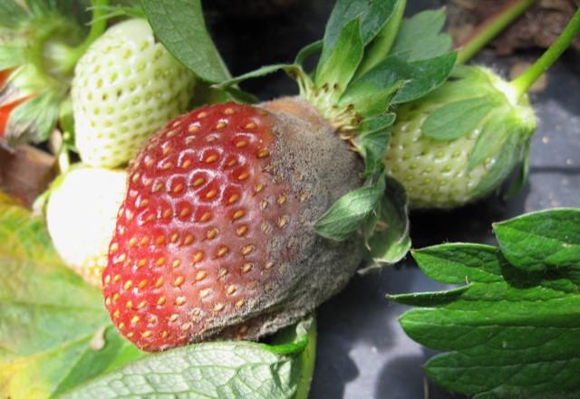 Biocontrol de botritis en fresa-Fertilab