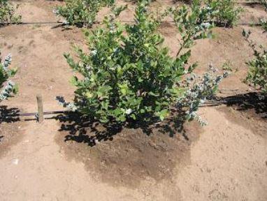 Riego con el Crecimiento y Desarrollo del Cultivo de Arandano