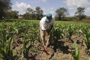 Sobreproduccion de maiz en Guanajuato: productores piden ayuda para evitar desplome de precios